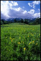 Yellow summer flowers in Horseshoe park. Rocky Mountain National Park, Colorado, USA.