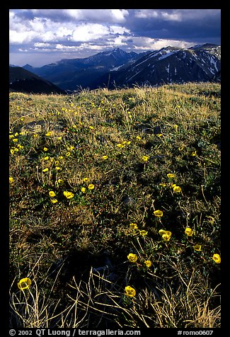 Alpine flowers on the tundra along Trail Ridge road. Rocky Mountain National Park (color)