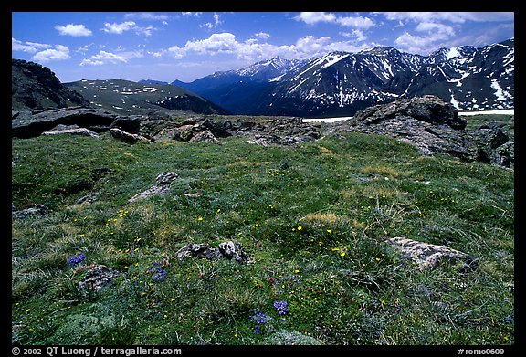 Alpine flowers on  tundra along Trail Ridge road. Rocky Mountain National Park (color)