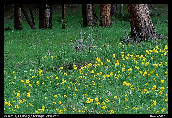 Flowers and tree trunks. Rocky Mountain National Park (color)