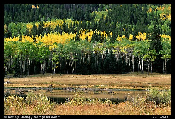 Yellow aspens and conifers Horseshoe park. Rocky Mountain National Park (color)