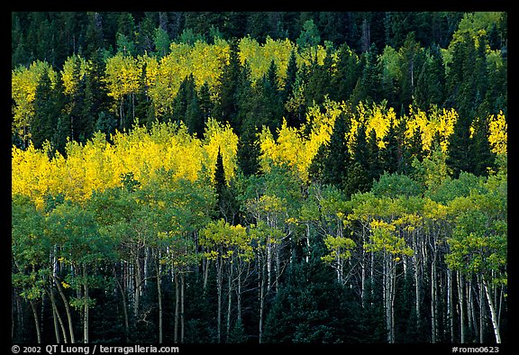 Aspens mixed with  conifers. Rocky Mountain National Park (color)