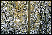 Yellow aspens with fresh snow. Rocky Mountain National Park, Colorado, USA.