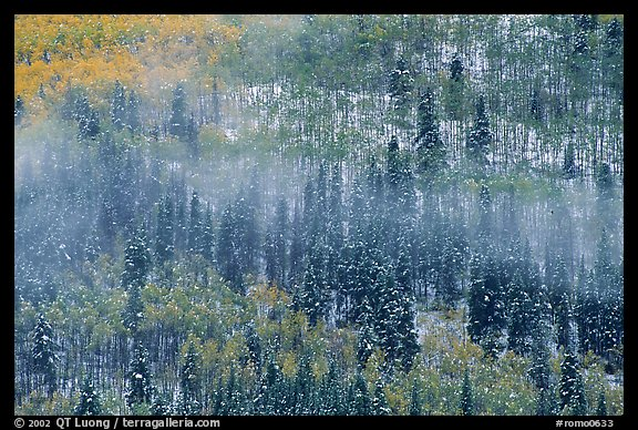 Aspens, spruce, snow, and fog. Rocky Mountain National Park (color)