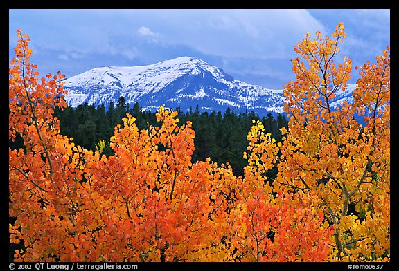 Orange aspens and blue mountains. Colorado, USA (color)