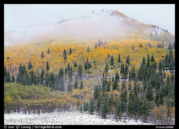 Yellow aspens and conifers in snow and fog. Rocky Mountain National Park (color)