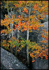 Aspens with multicolored leaves growing in boulder field. Rocky Mountain National Park ( color)