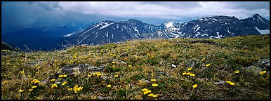 Wildflowers on high alpine meadows. Rocky Mountain National Park (Panoramic color)