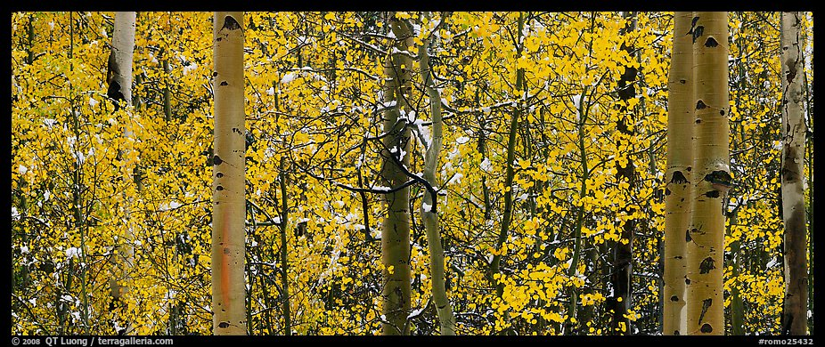 Aspen forest in autumn with a dusting of snow. Rocky Mountain National Park (color)