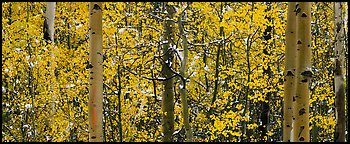 Aspen forest in autumn with a dusting of snow. Rocky Mountain National Park (Panoramic color)