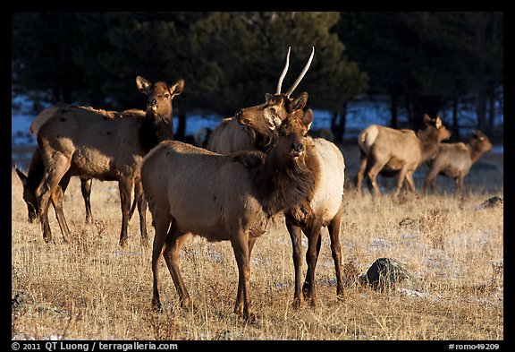Elks. Rocky Mountain National Park (color)