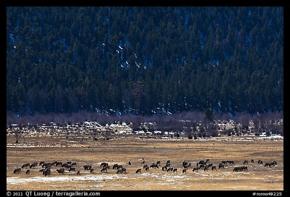 Elk Herd. Rocky Mountain National Park (color)