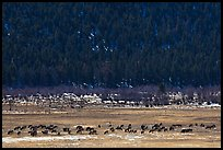 Elk Herd. Rocky Mountain National Park, Colorado, USA. (color)