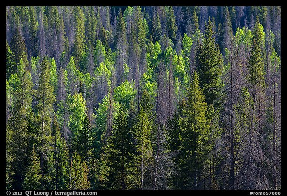 Evergreens and aspen in Kawuneeche Valley. Rocky Mountain National Park (color)
