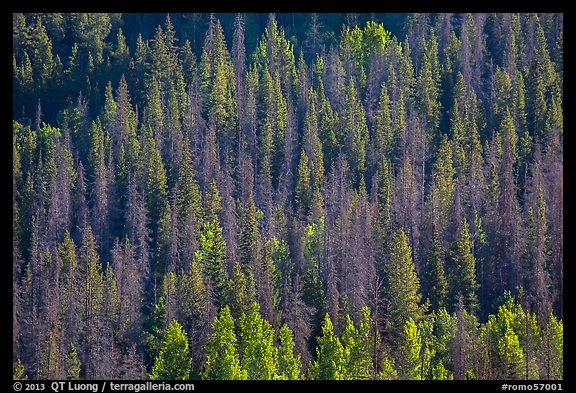 Slope with dark evergreen trees and light aspen trees. Rocky Mountain National Park (color)