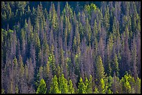 Slope with dark evergreen trees and light aspen trees. Rocky Mountain National Park ( color)