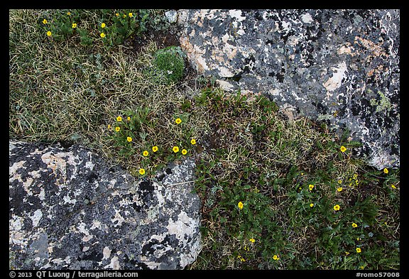 Alpine flowers and lichen-covered rocks. Rocky Mountain National Park (color)