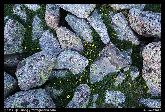 Granite rocks and yellow alpine wildflowers. Rocky Mountain National Park (color)