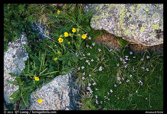 Alpine flowers and lichen-covered granite rocks. Rocky Mountain National Park (color)