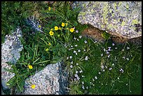 Alpine flowers and lichen-covered granite rocks. Rocky Mountain National Park, Colorado, USA. (color)