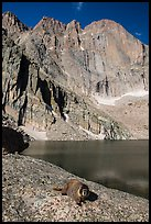 Marmot on shore of Chasm Lake below Longs peak. Rocky Mountain National Park ( color)