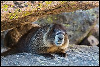 Marmot. Rocky Mountain National Park ( color)