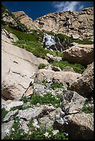 Columbine and cascades. Rocky Mountain National Park ( color)