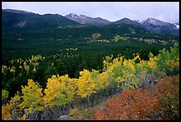 Scrub and yellow aspens in Glacier basin, fall. Rocky Mountain National Park, Colorado, USA. (color)