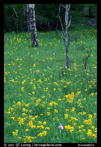 Wildflowers and trees in forest. Rocky Mountain National Park, Colorado, USA.
