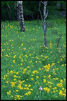 Wildflowers and trees in forest. Rocky Mountain National Park, Colorado, USA. (color)