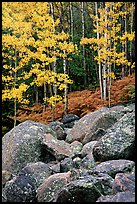 Boulders and forest with yellow aspens. Rocky Mountain National Park ( color)