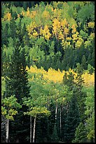 Aspens in various shades of fall colors. Rocky Mountain National Park, Colorado, USA. (color)