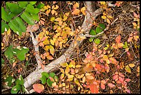 Close-up of ground with leaves in autumn. Rocky Mountain National Park ( color)