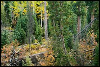 Forest in autumn, Wild Basin. Rocky Mountain National Park ( color)