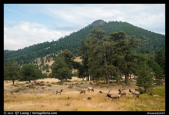 Elk herd and hill in autumn. Rocky Mountain National Park (color)
