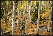 Mixed forest with aspen in autumn. Rocky Mountain National Park ( color)