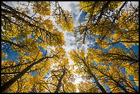 Looking up aspen grove in autumn. Rocky Mountain National Park ( color)