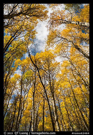 Aspen grove with golden leaves in autumn. Rocky Mountain National Park (color)