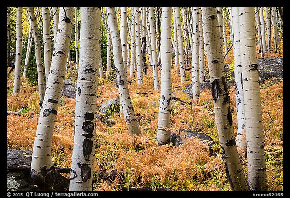 Aspens and ferns in autumn. Rocky Mountain National Park (color)