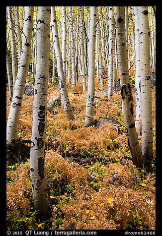 Aspen grove and ferns on forest floor in autumn. Rocky Mountain National Park (color)