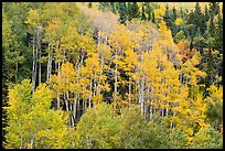 Aspen grove in autumn. Rocky Mountain National Park ( color)