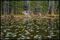 Water lillies and trees, Nymph Lake. Rocky Mountain National Park, Colorado, USA.