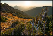 Krumholtz trees at sunrise. Rocky Mountain National Park ( color)