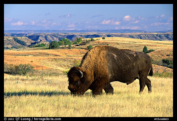 Bison grazing in  prairie. Theodore Roosevelt National Park (color)