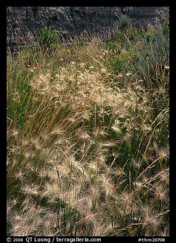 Barley grasses with badlands in background, North Unit. Theodore Roosevelt  National Park (color)