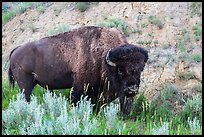 Bison. Theodore Roosevelt National Park ( color)