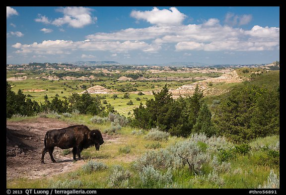 Bison and badlands landscape in summer. Theodore Roosevelt National Park (color)