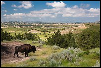 Bison and badlands landscape in summer. Theodore Roosevelt National Park ( color)