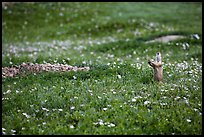 Prairie dog in meadow carpeted with flowers. Theodore Roosevelt National Park ( color)