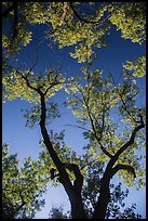 Looking up cottonwood trees. Theodore Roosevelt National Park ( color)